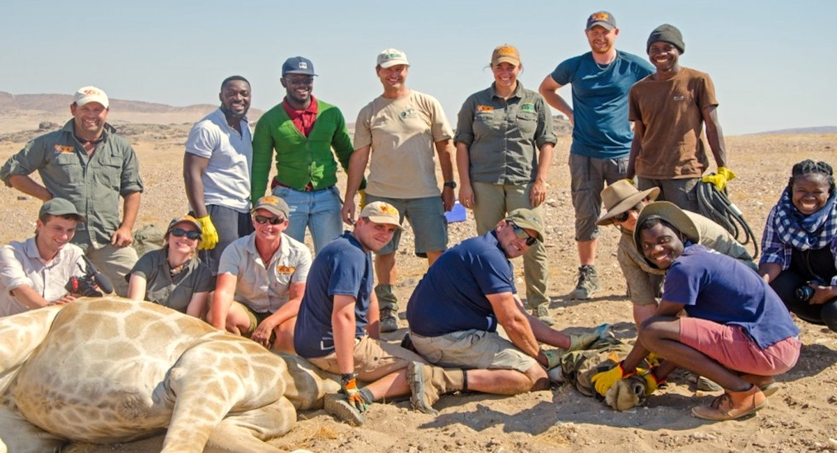 A team of vets and researchers pose next to an unconscious giraffe.