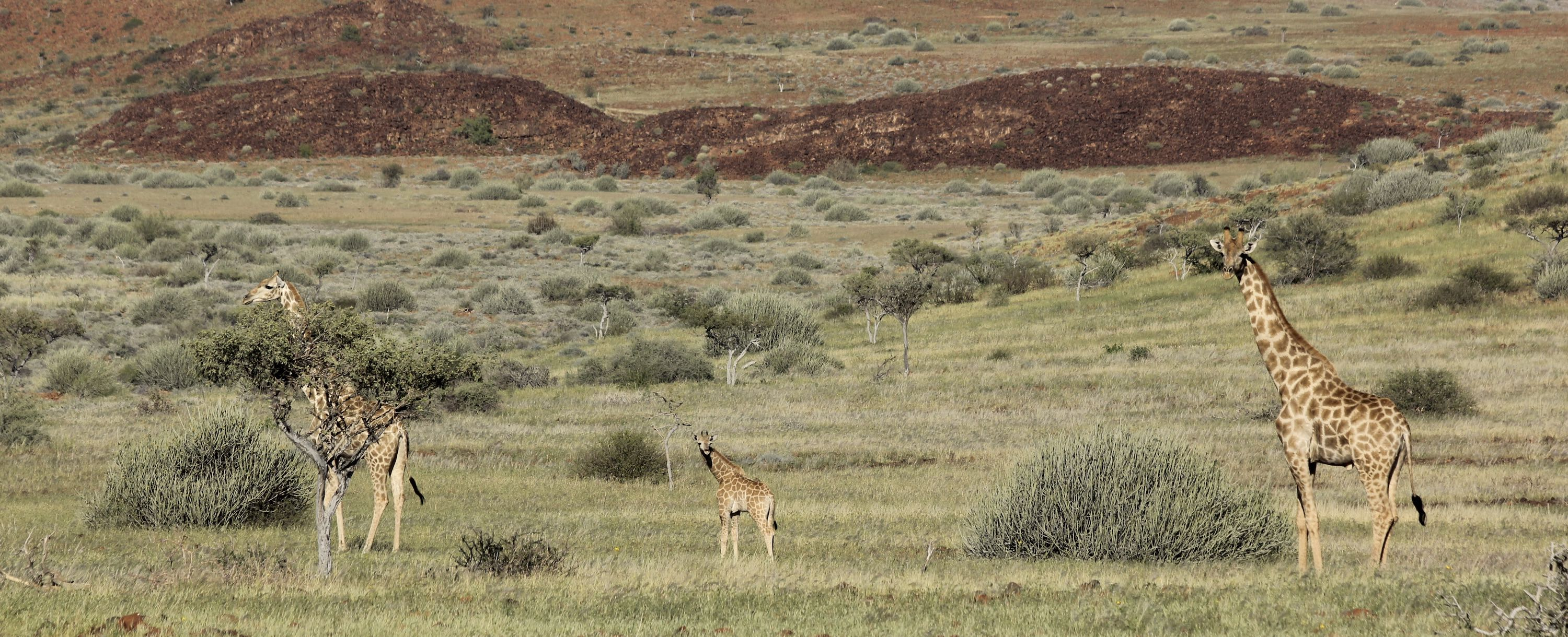 Three giraffe, including a baby, trek across the landscape of northern Namibia.