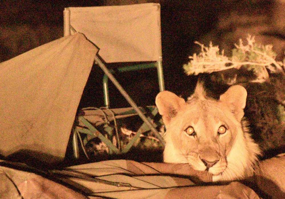 A lion chews on the corner of a canvas tent, while camp chairs sit in disarray behind him.