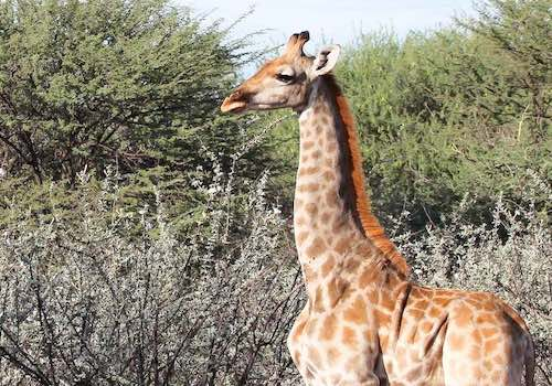The clearly stunted form of a dwarf giraffe - with an almost normal looking body, but very short legs.