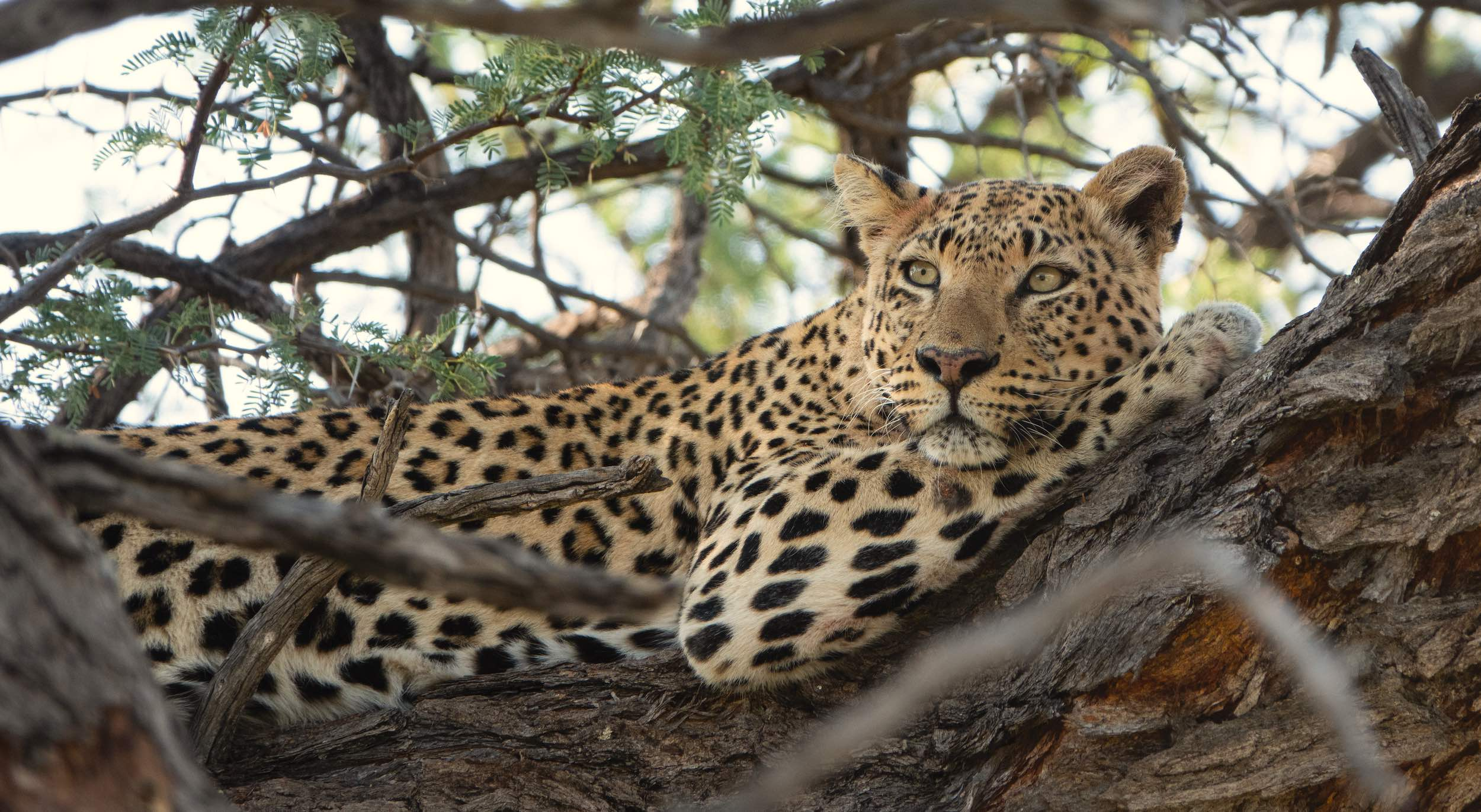 A leopard relaxes on the branch of a tree.