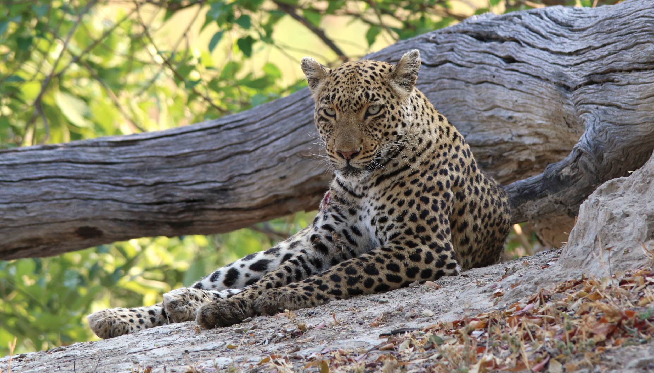 A very relaxed looking leopard.