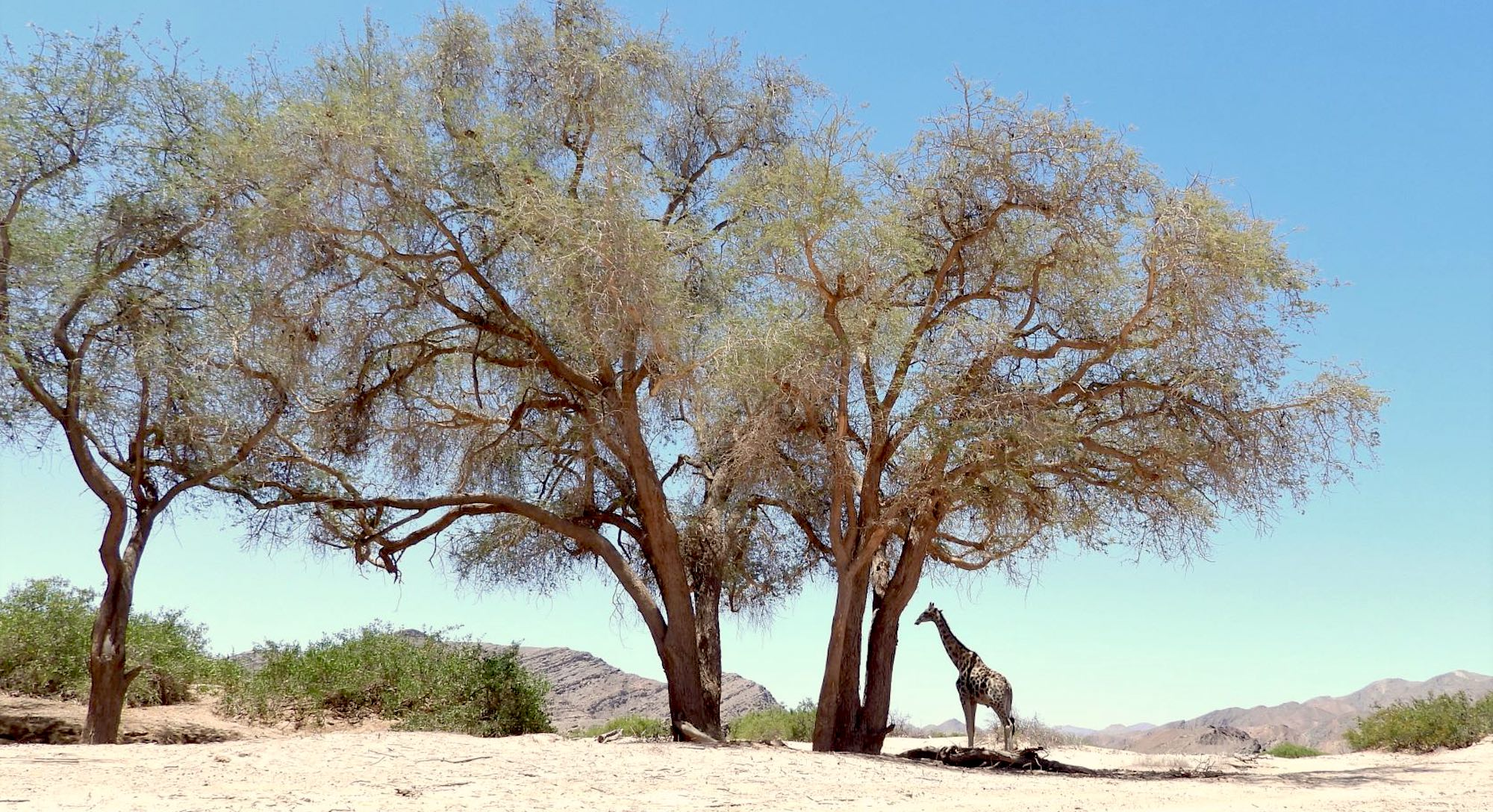 A lone giraffe stands under a massive Ana tree in a dry riverbed.