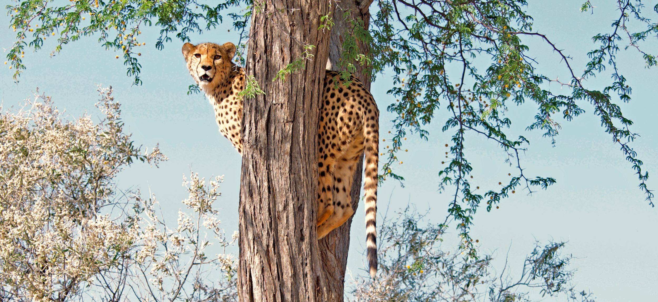 A cheetah looks down from the tree she is standing in.