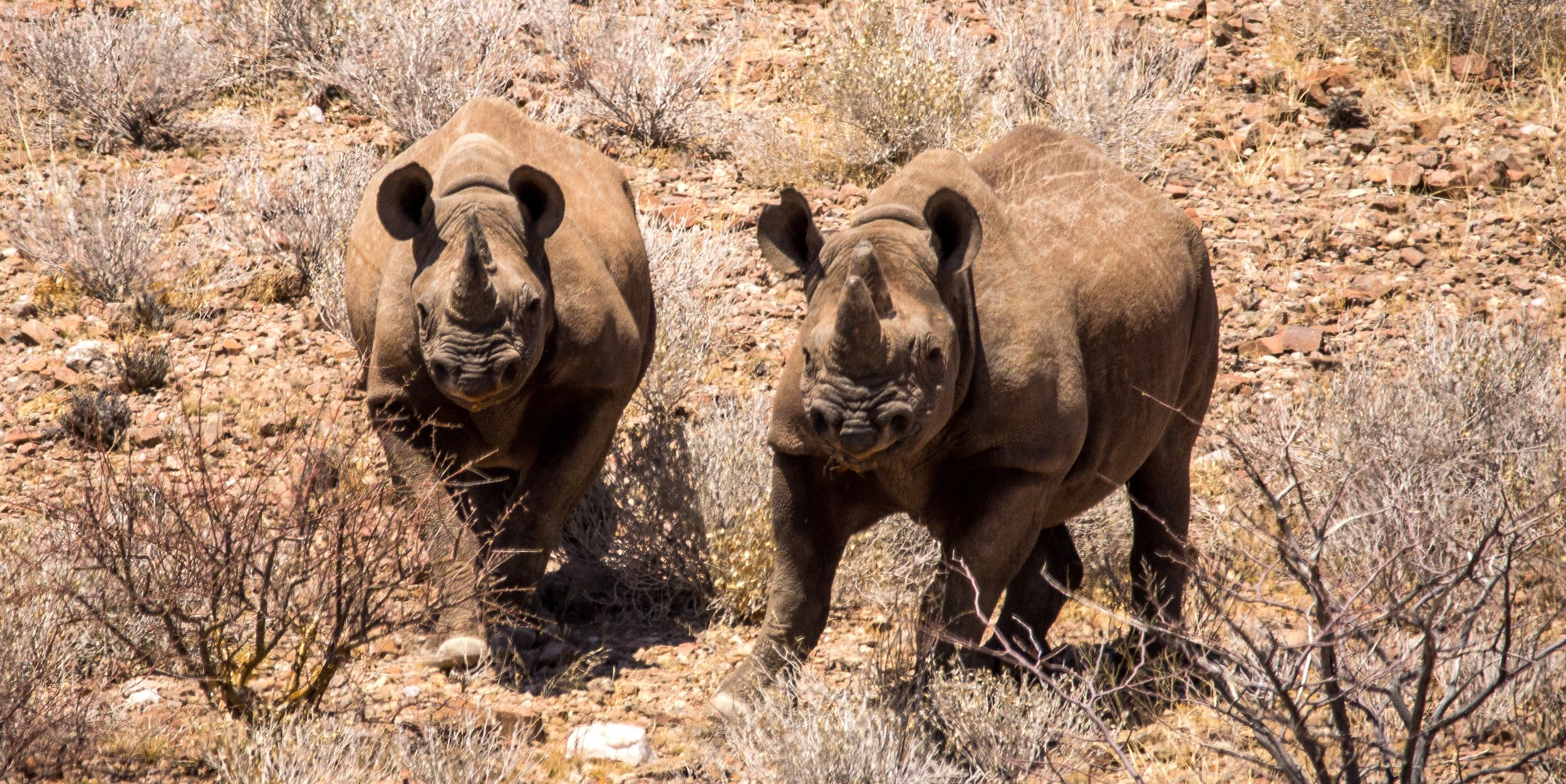 Two black rhinos amongst the rocks and scrub of north-western Namibia.