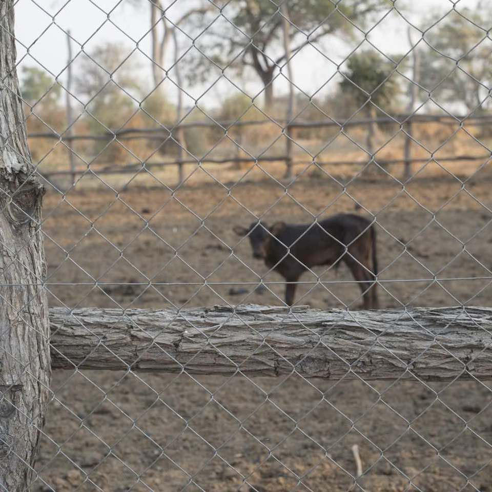 A thick fence around this cattle kraal provides protection against lions.