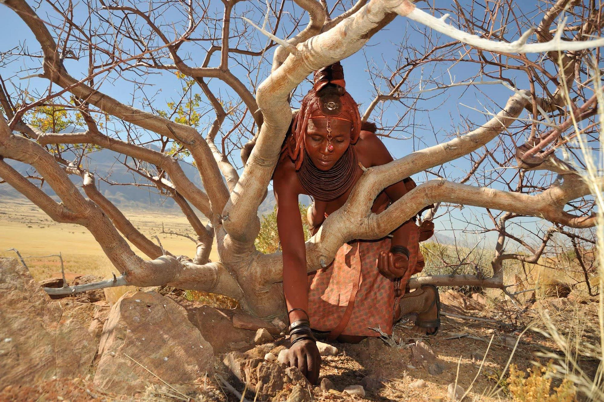 A Himba lady digs in the ground underneath a commiphora tree.