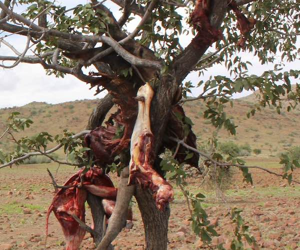 The remains of a cow killed by a predator hand in a tree