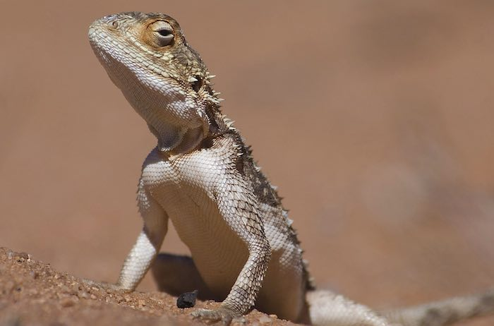 An agama in central Namibia.