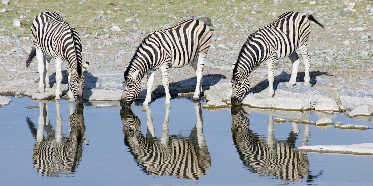 Three zebras drink at a waterhole in Namibia.