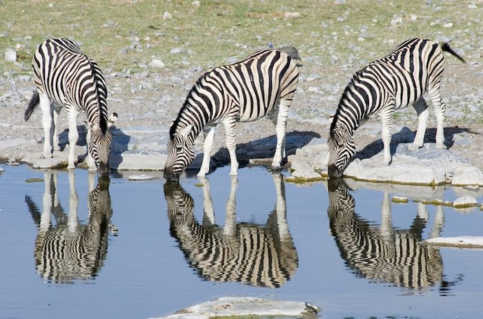 A trio of zebras drinking from an Etosha waterhole.