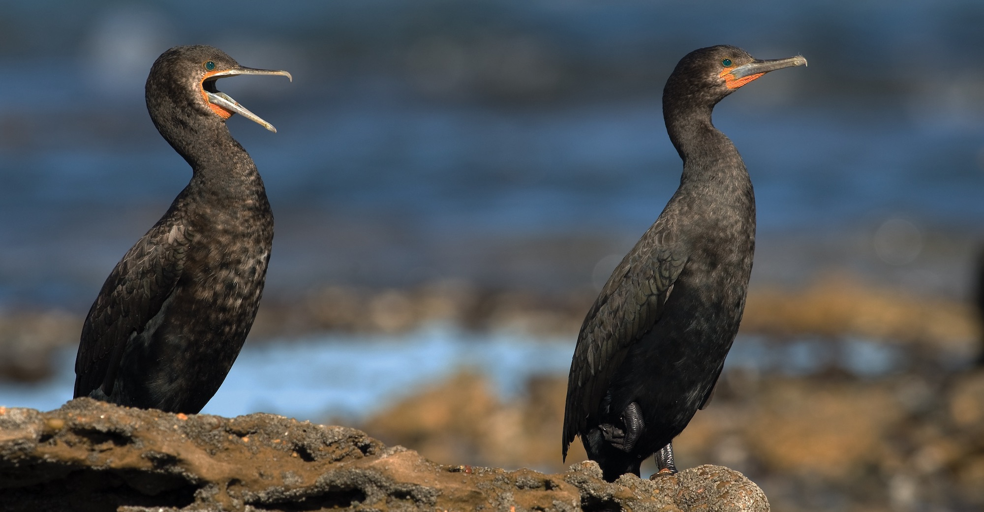 a pair of Cape cormorants