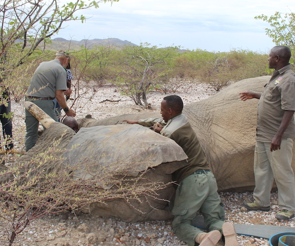 A veterinary team work with an unconscious elephant