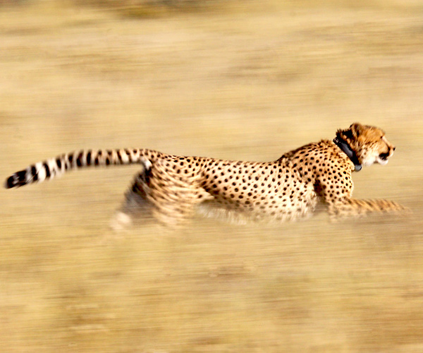 A running cheetah wearing a tracking collar
