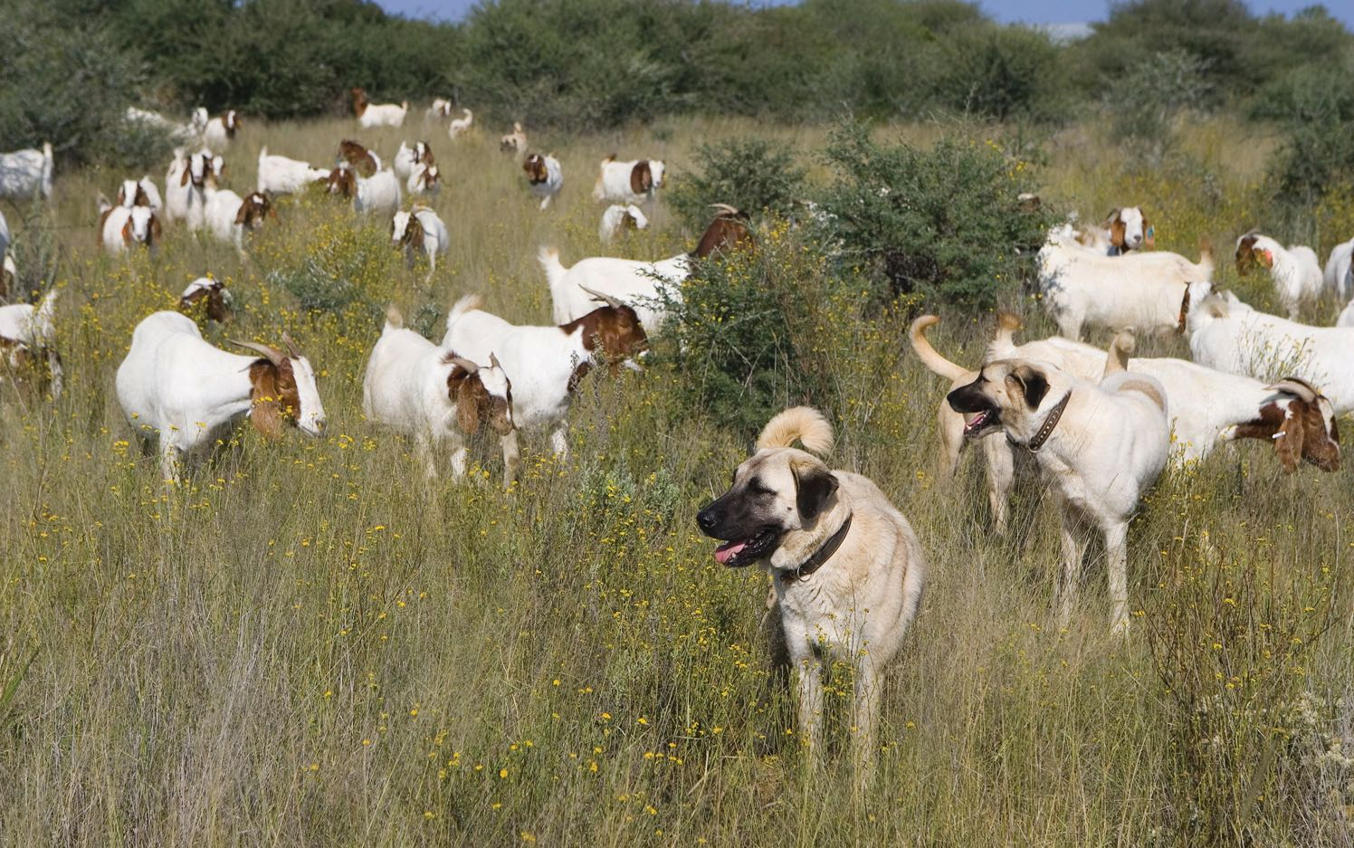 Livestock guarding dogs out in the bush with a herd of goats