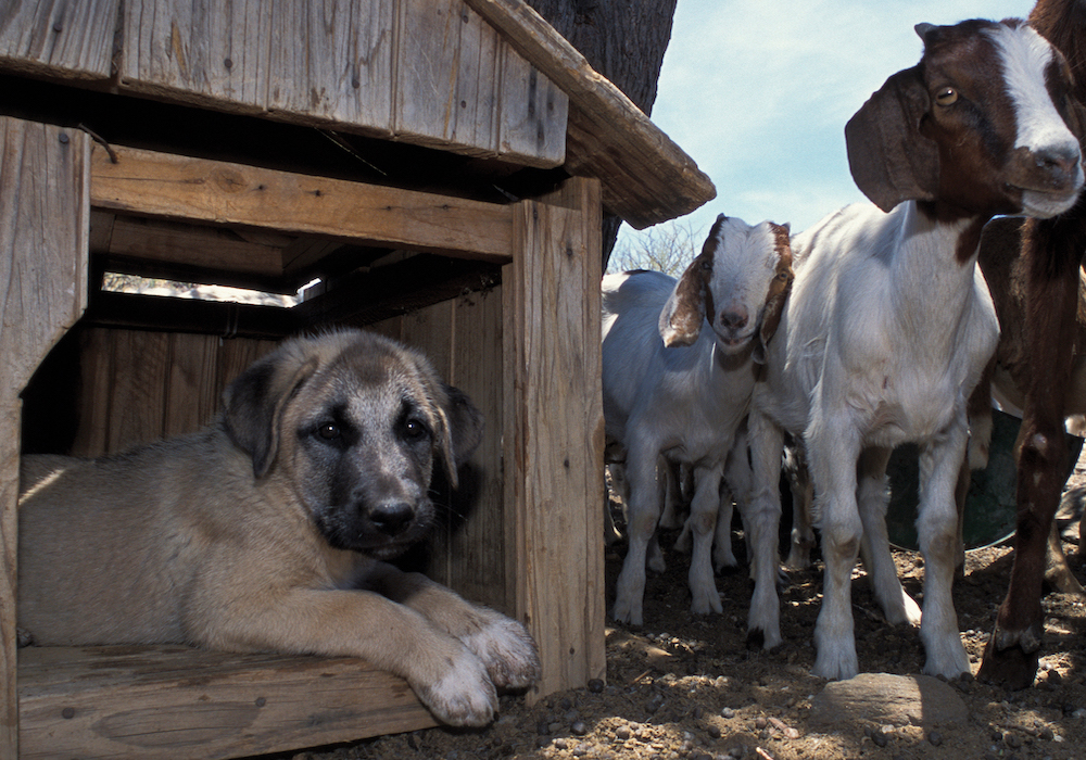 A puppy in his kennel, next to a group of goats
