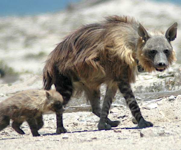 Brown hyaena family