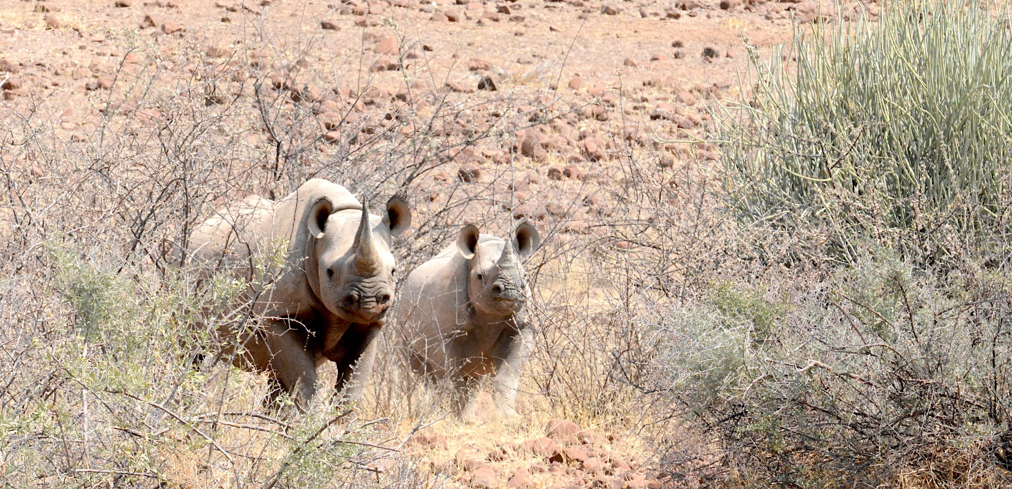 Two magnificent black rhino