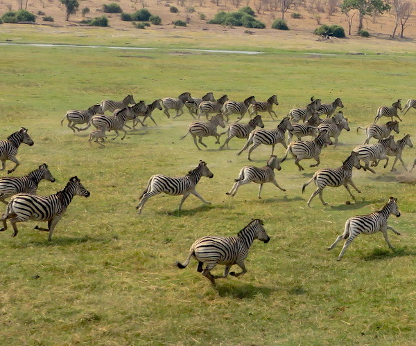 A dazzle of zebra running