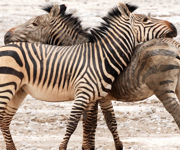Two Hartmanns mountain zebra