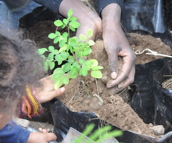 Close up of two pairs of hands as they plant a sapling