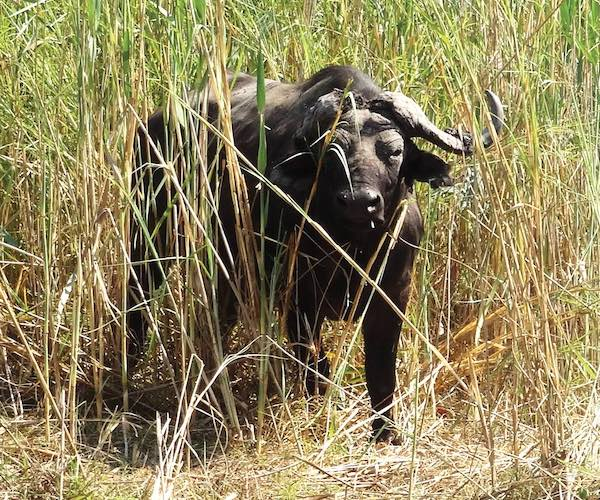 A buffalo gazes out from among thick reeds.