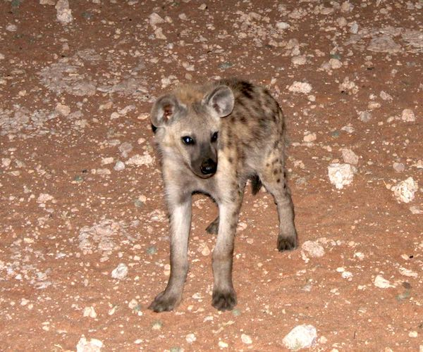 A lone spotted hyaena standing on rocky ground