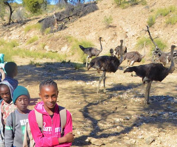A line of schoolchildren walk past a group of ostriches