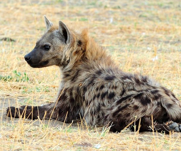 A spotted hyaena sitting down and looking relaxed